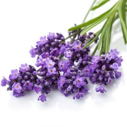 Эфирное масло Лаванда Сонг оф Индия (Lavender Pure Essential Oil Song of India) 10 мл